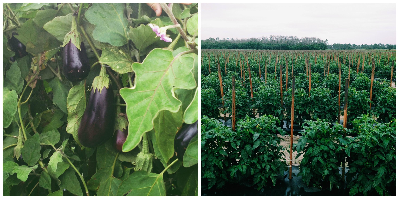 Eggplant and Tomato Plants