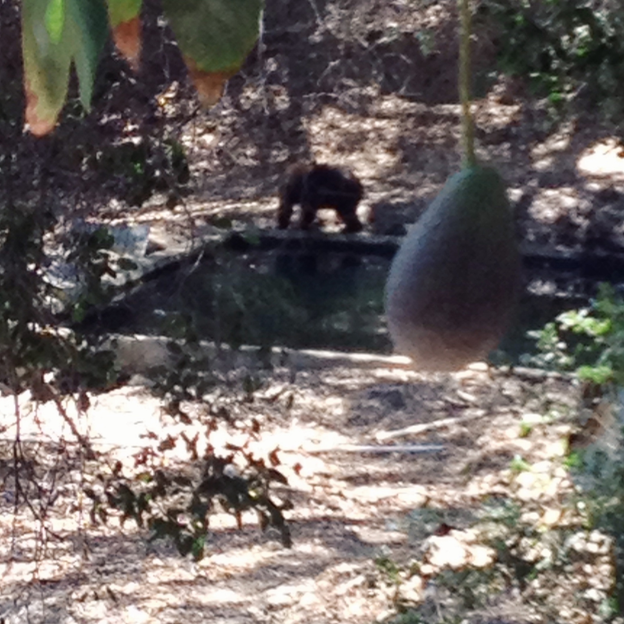 Bear in the Groves