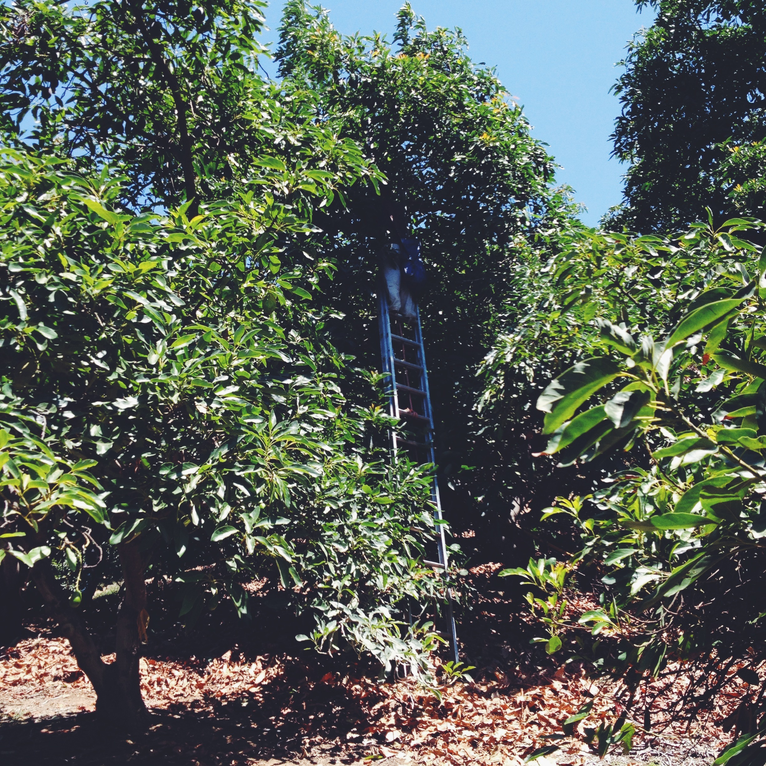 Avocado Picking
