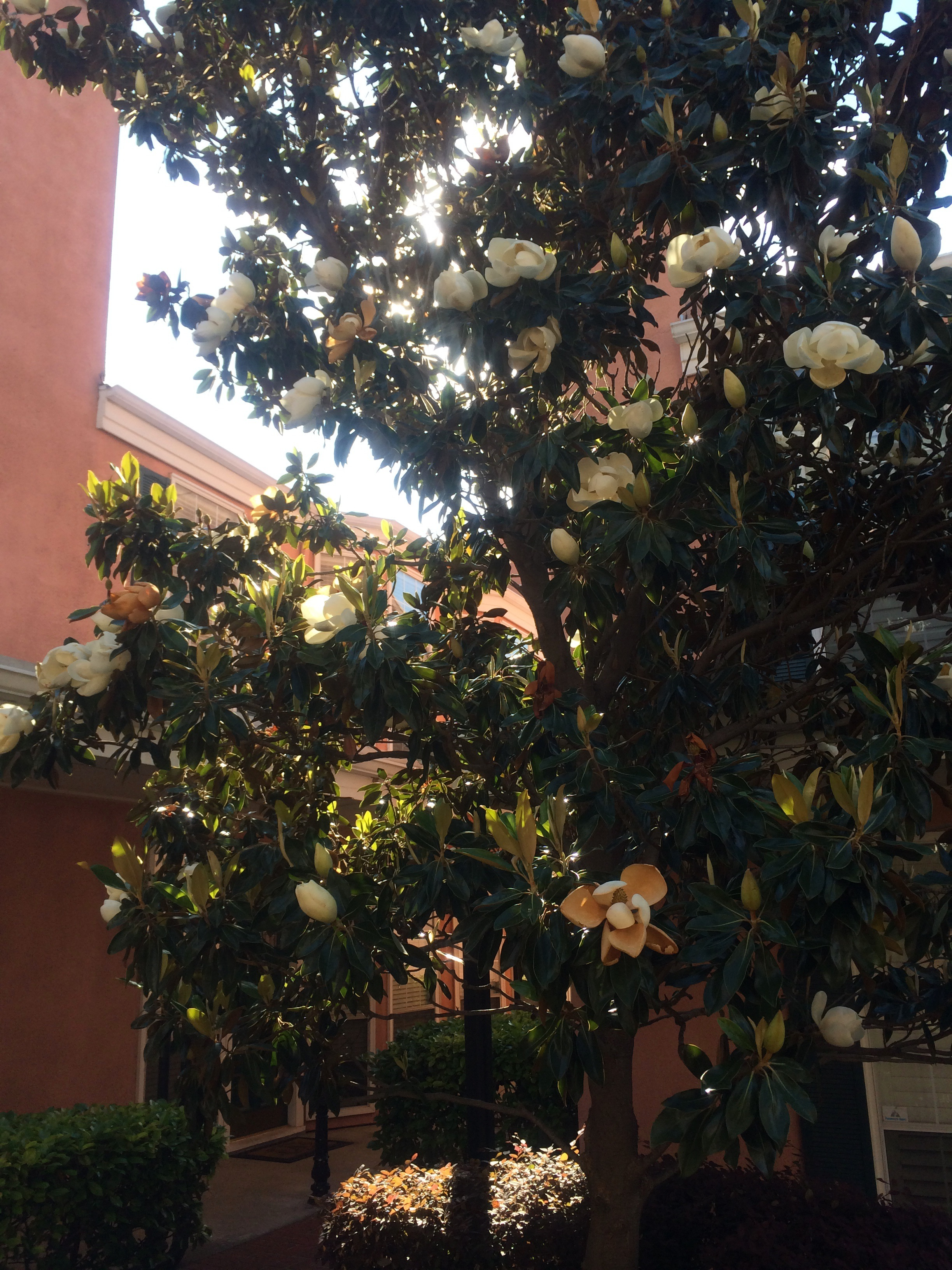Magnolia Tree