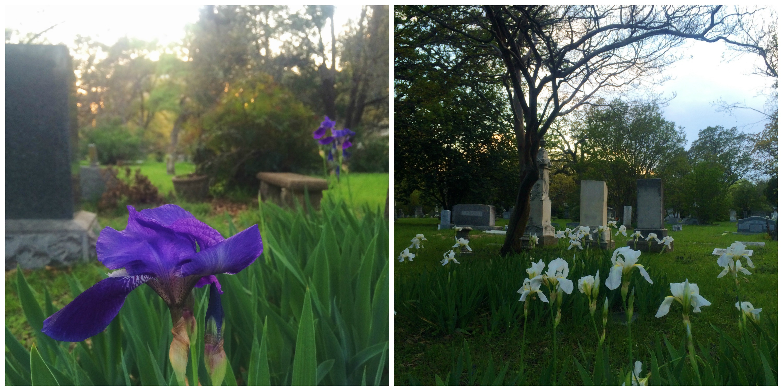 Irises in the Cemetery