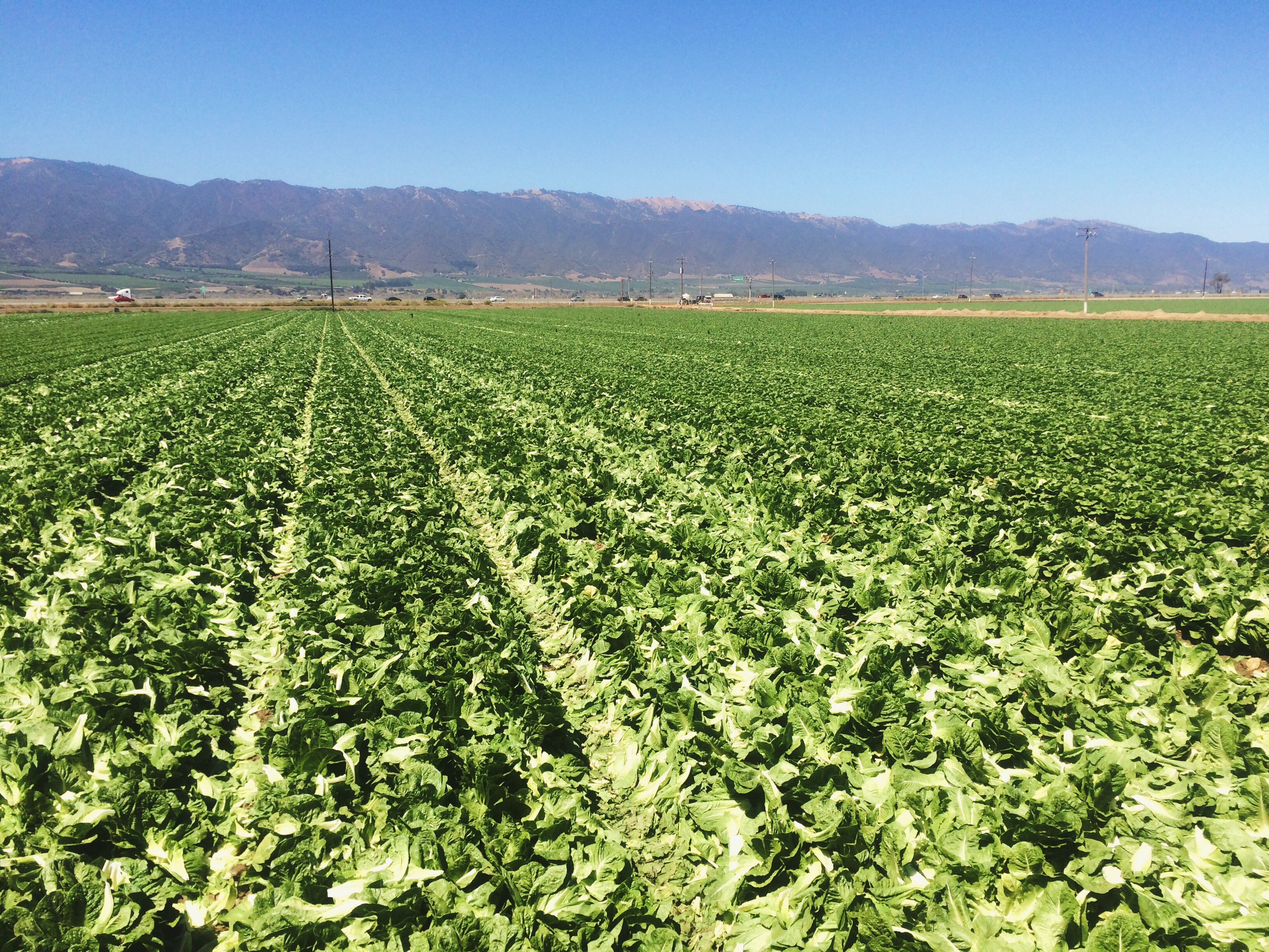 California Lettuce Fields