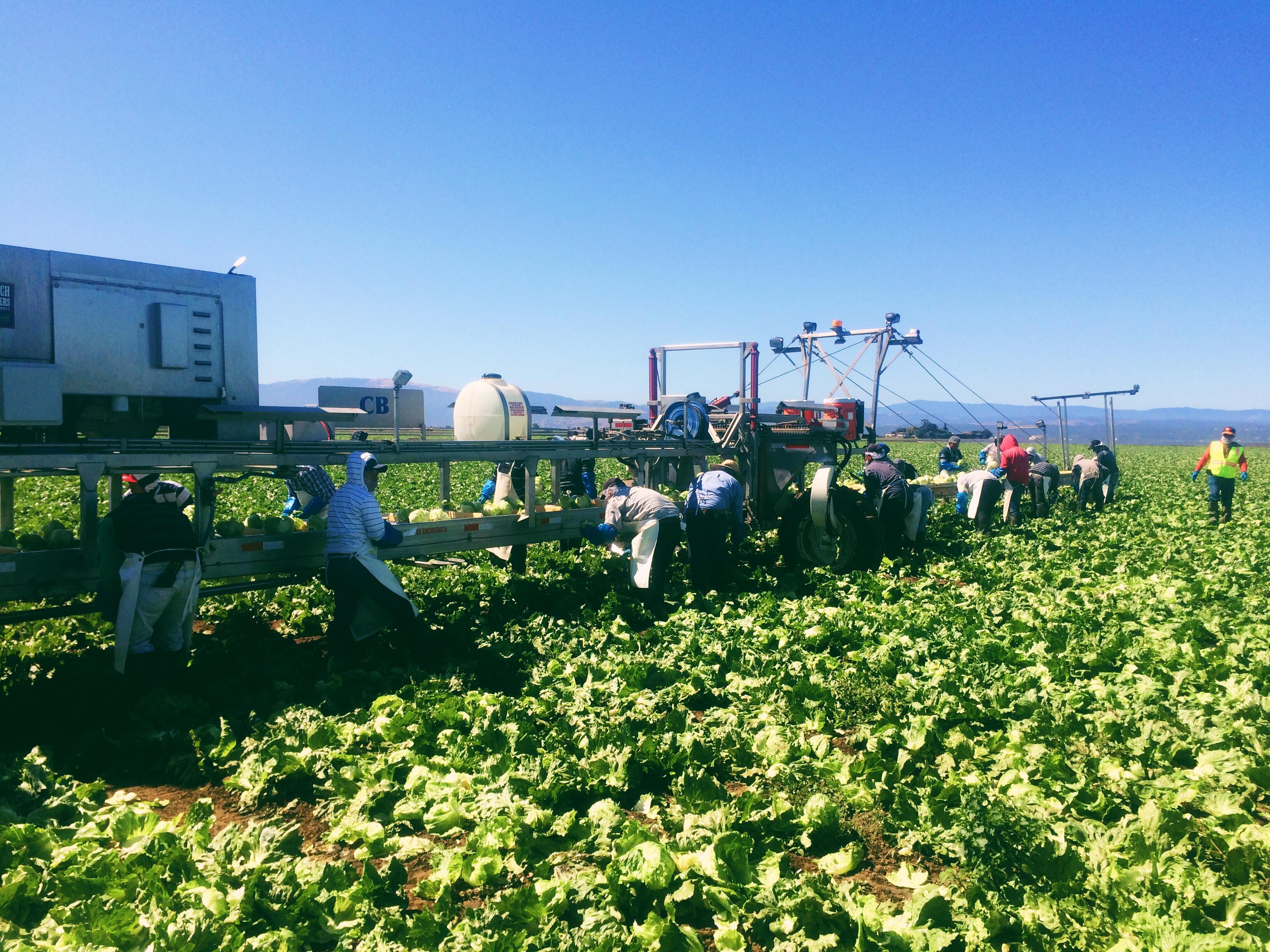 Lettuce Harvesting