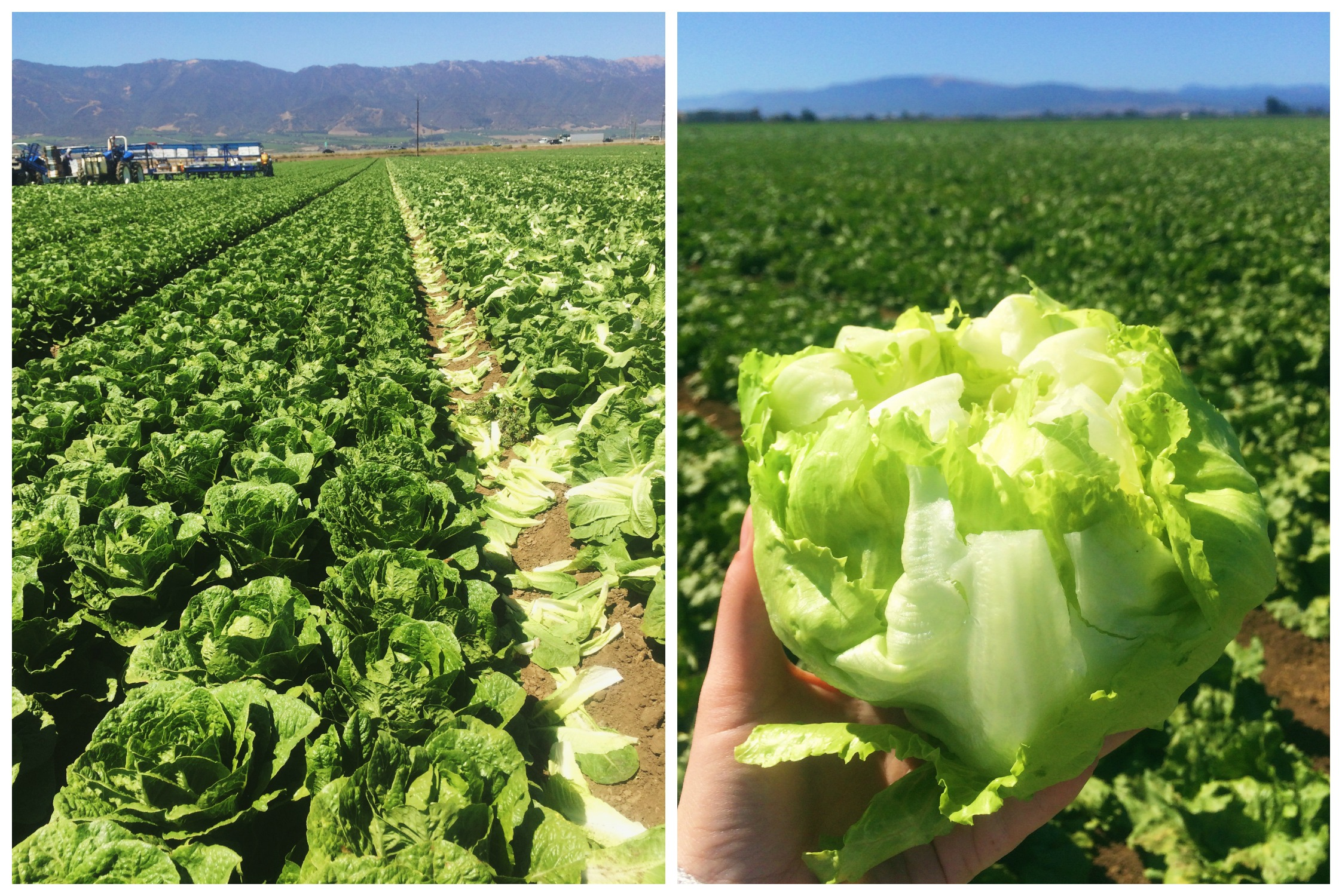 Lettuce Fields